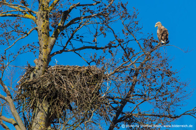 Seeadler am Nest