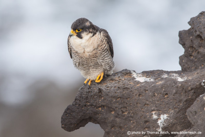 Barbary Falcon male